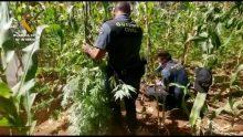 Intervenidas más de 7.000 plantas de cannabis