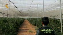 La Guardia Civil incauta mayor plantación marihuana descubierta provincia de Granada